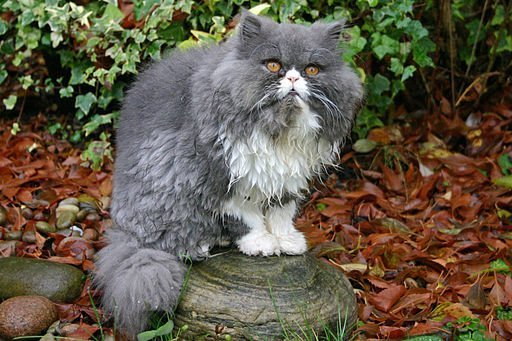 Persian_Cat_7_UK
